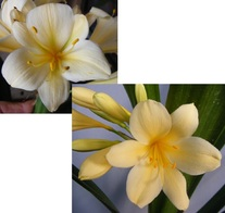 (Albany Yellow Var. X Vico Var. Yellow) X Nakamura Yellow Var.