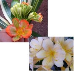(Yellow Miniata X Green Centre Var. Daruma) X Chubb Broad Petal Peach