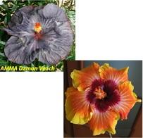 AMMA DAMON VEACH X M. JAYELLA