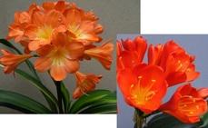 Broad Leaf Var. RedX Scarlet O' Hara Red Ex Late Bossie de Kock