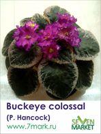 Buckeye colossal