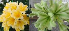 Chiba Yellow X Charl's Green