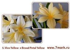 Vico Yellow  x Broad Petal Yellow
