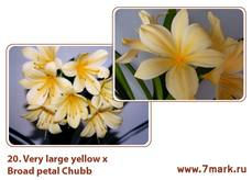 Very nice large yellow (ex Ghost cross) X Broad petal Chubb peach