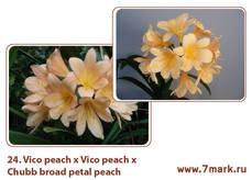 Vico peach X Vico peach X Chubb broad petal peach