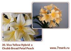 Vico Yellow Hybrid  X Chubb Broad Petal Peach