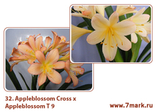 Appleblossom Cross Х Appleblossom T 9