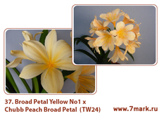 Broad Petal Yellow No 1  x Chubb Peach Broad Petal  (TW24)