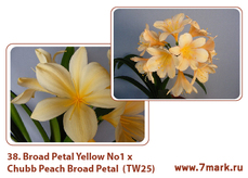 Broad Petal Yellow No 1  x Chubb Peach Broad Petal  (TW25)