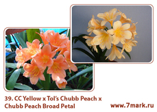 CC Yellow x Tol's Chubb Peach Х Chubb Peach Broad Petal