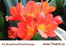 Broad Leaf Dark Orange