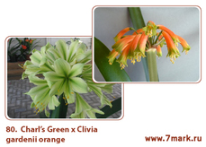 Charl's Green Х Clivia gardenii orange  1семя