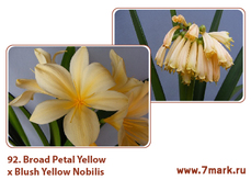 Broad Petal Yellow X Blush Yellow Nobilis