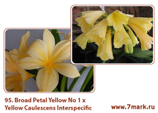 Broad Petal Yellow No 1 Х Yellow Caulescens Interspecific