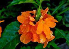 Кроссандра 10 семян