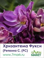 Хризантема Фукси