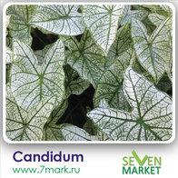 Candidum