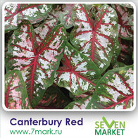 Canterbury Red