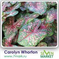 Carolyn Whorton