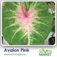 Avalon Pink
