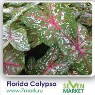 Florida Calypso