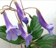 Latifolia x sp.linearifolia (детка)