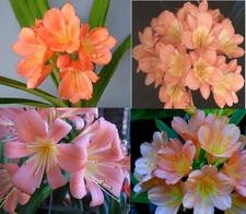Mixed Pastel Hybrids